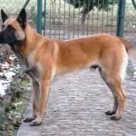 ¿Como prevenir enfermedades en mi perro pastor belga?