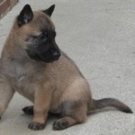 ¿Como ejercitar a mi cachorro pastor belga?