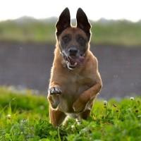 Malinois es generalmente un perro sano